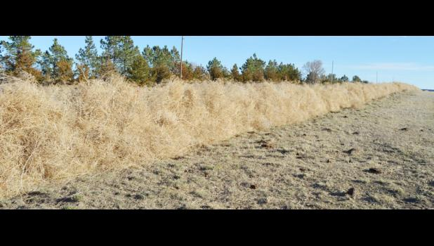 It is hard to see it in the photo, but this is a two-year-old fence line that has been weighted down by so many tumbleweeds that the fence has bowed under to the weight.